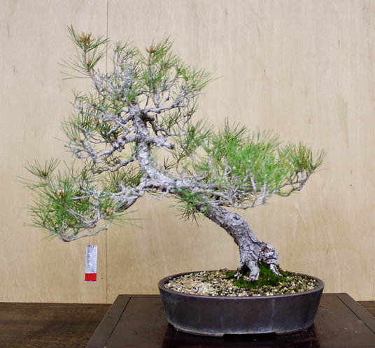 "BP058 J. Black Pine 22"""