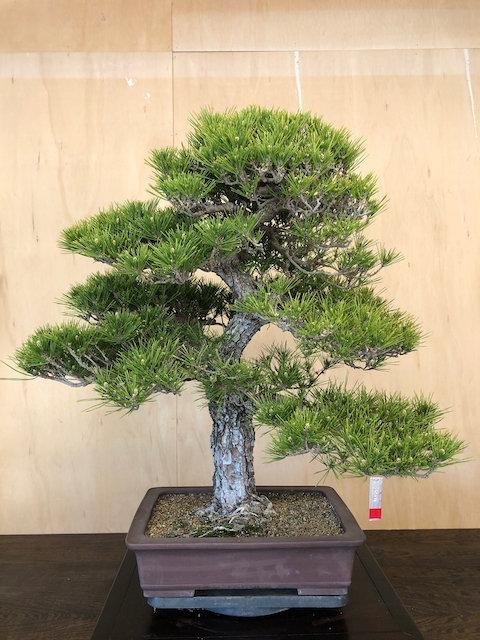 "BP031 J. Black Pine 33"""