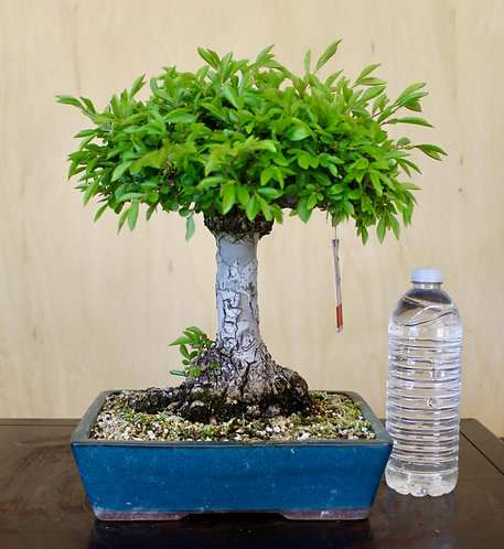 """D006 Chinese Elm 11"""""""