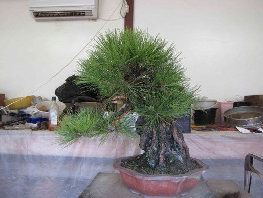 The Black Pine Duet
