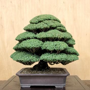 Moss Cypress