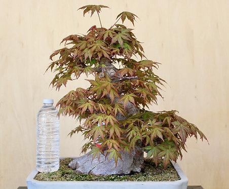 "D076 Japanese Maple 15"""