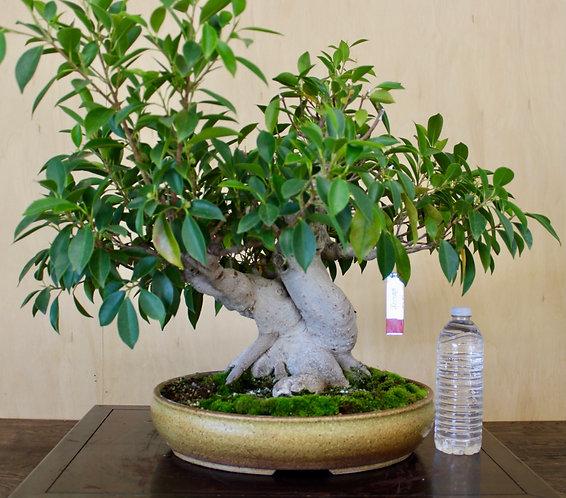 "BE021 Ficus 17"""