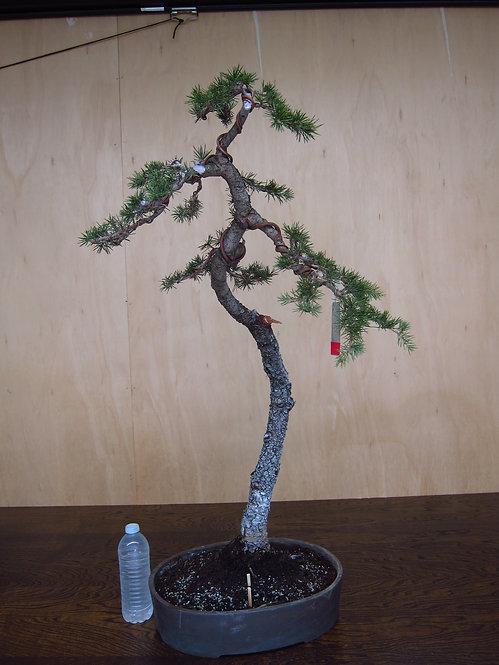 J041 Green Atlas Cedar