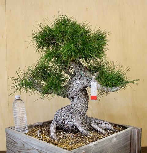 "BP068 Black Pine 24"""