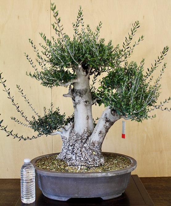 "BE032 Dwarf Leaf Olive 24"""