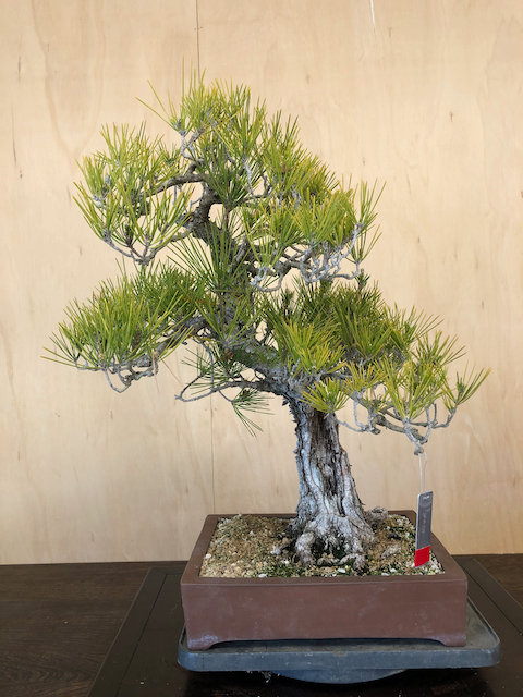 "BP050 J. Black Pine 24"""