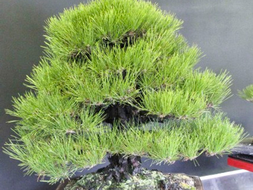 Formal Black Pine and Kihachikai Show