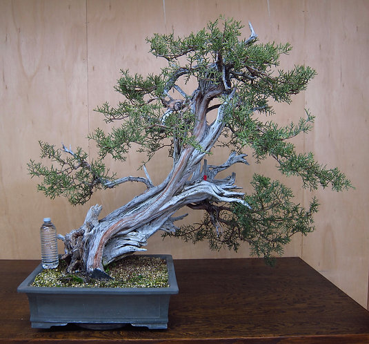 J037 California Juniper 39""
