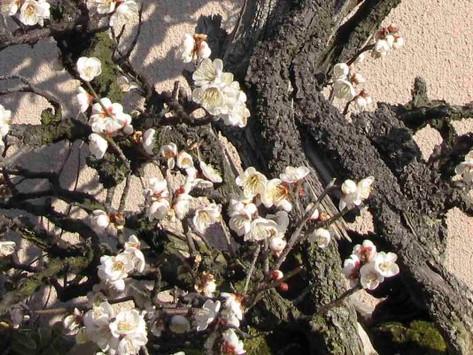 Japanese Flowering Plum Basics