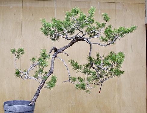 "BP047 Scots Pine 36"""