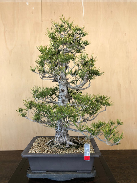 "BP038 J. Black Pine 30"""