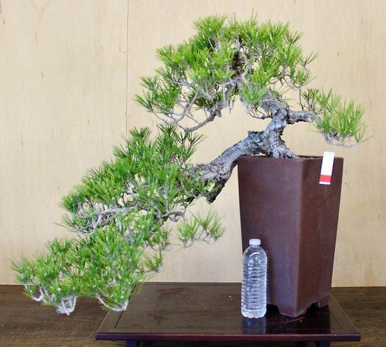 """BP028 Cork Bark Black Pine 25"""""""