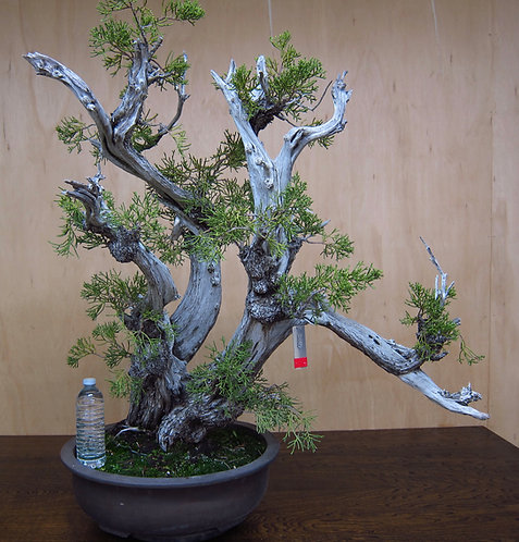 J080 California Juniper 35""
