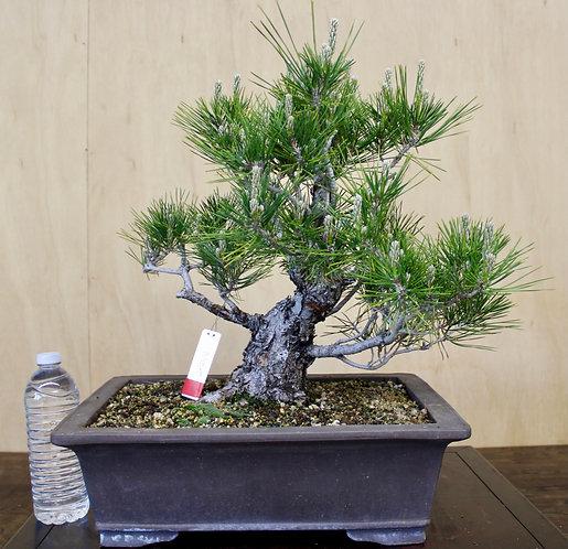 "BP044 J. Black Pine 15"""