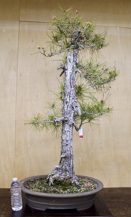 "BP061 J. Black Pine 45"""