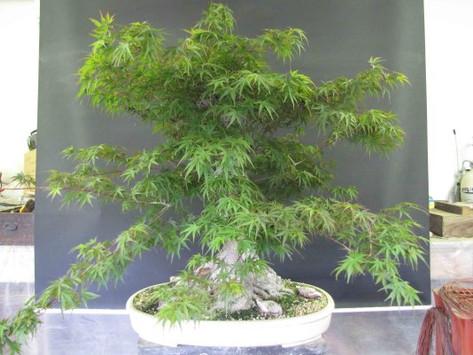Rebuilding a Japanese Maple