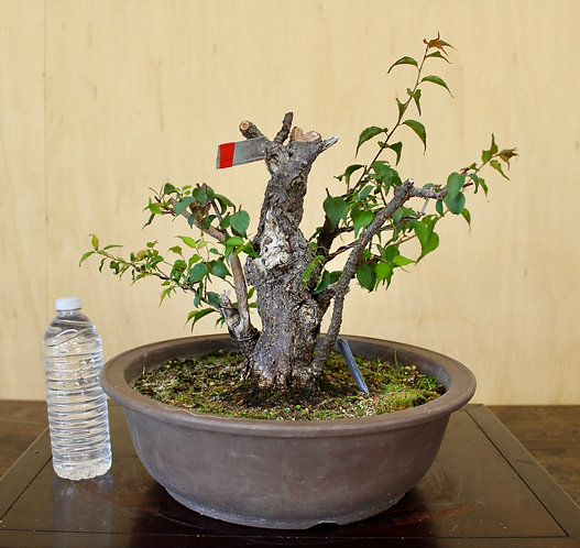 "D071 Flowering Apricot 13"""