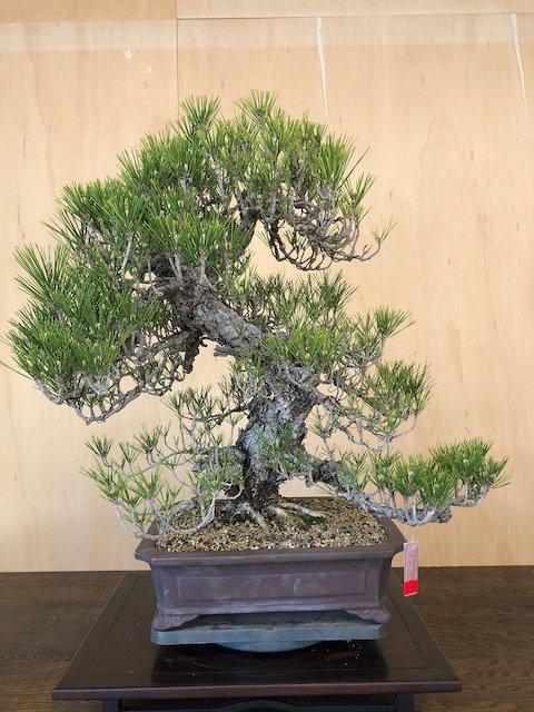 """BP029 Cork Bark Black Pine 28"""""""