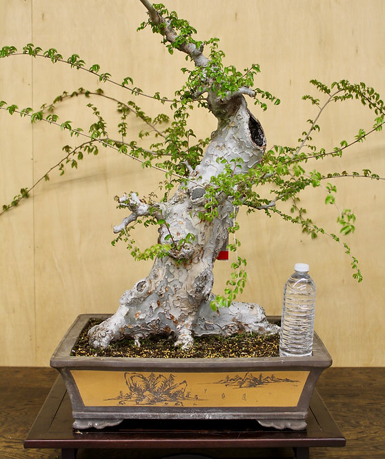 """D062 Chinese Elm 28"""""""