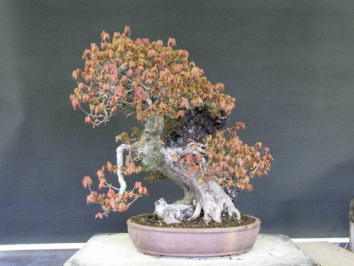 The Trident Maple Projects (yes, another two…)