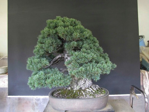 Informal Upright Five Needle Pine