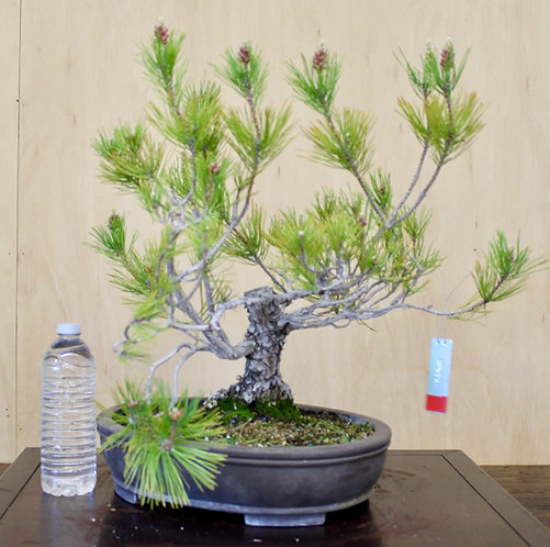 "BP040 J. Black Pine 11"""