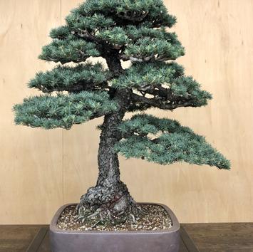 Green Atlas Cedar