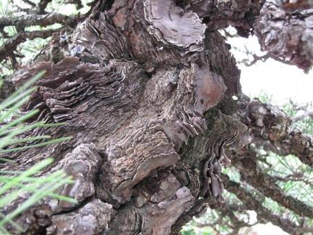 Mikawa Black Pines?