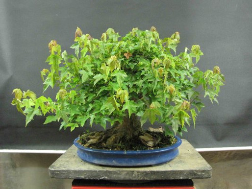 The Trident Maple Project and Summer Maple Work