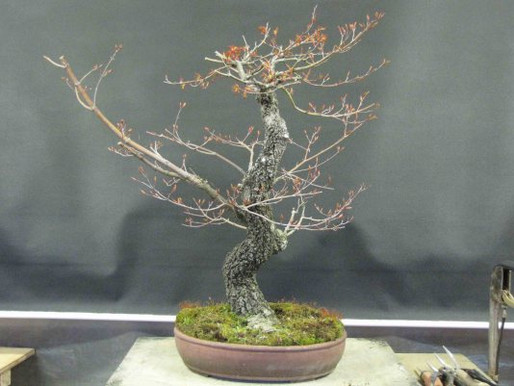 The Japanese Maple Experiment