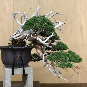Kishu Shimpaku