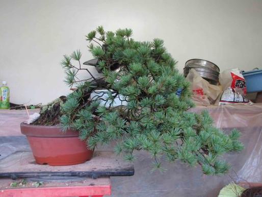 Five Needle Pine – Quickly