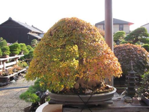 The Strange Trident Maple