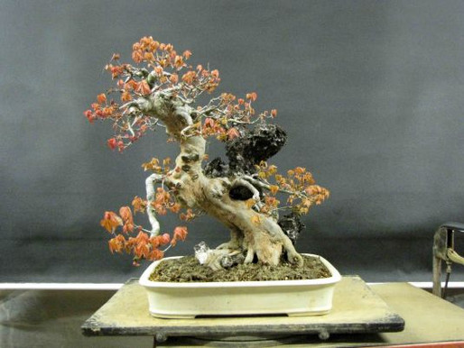 Root Over Rock Trident Maple Project (con't)