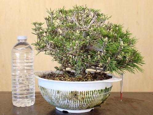"BP025 Kotobuki Black Pine 8"""