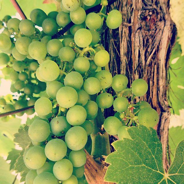 Die #trauben wachsen und gedeihen bei bestem Wetter und viel #sonnenschein ☀ 🍷 Einen schönen #diens