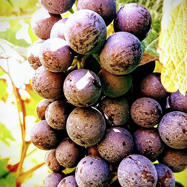 Mhhhh yummy 😋 #vintage2017 #grapelover #baldgehtslos #saulecker #mommenheim #germanwines #rheinhess