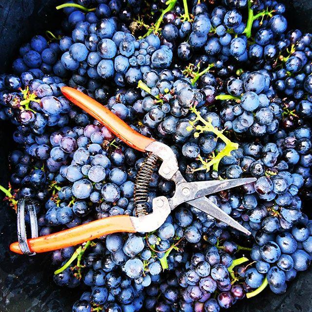 Los geht's!!! #vintage2017 #frühburgunder #mommenheim #rheinhessen #harvest #trauben #grapelover #in