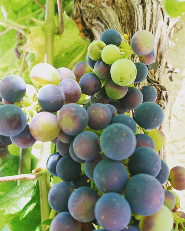 #hausrebstock #comingsoon #vintage2017 #grape #red #turningred 🔜 #wine #grapelover #rheinhessen #mo