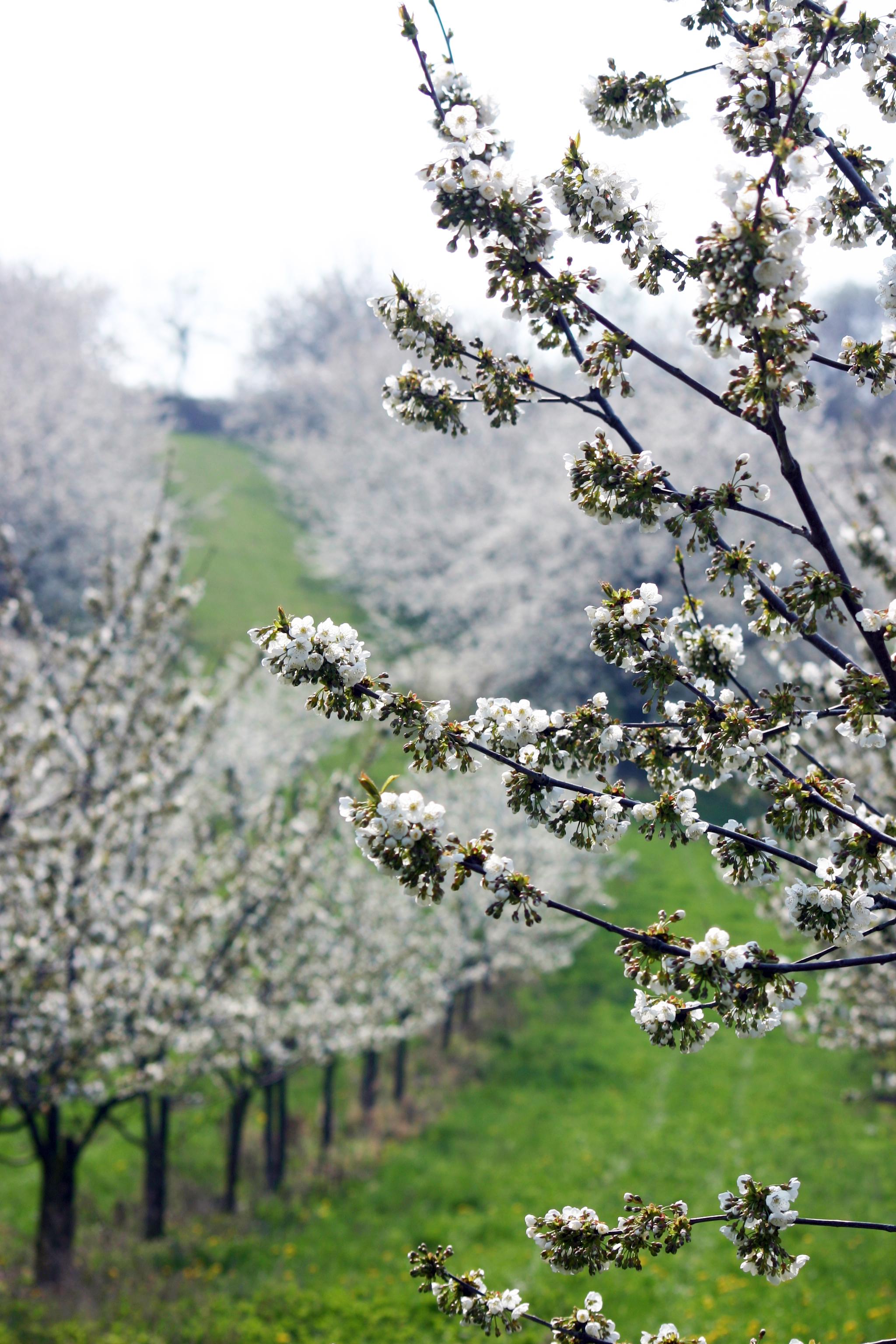 3687-blühende-obstbäume