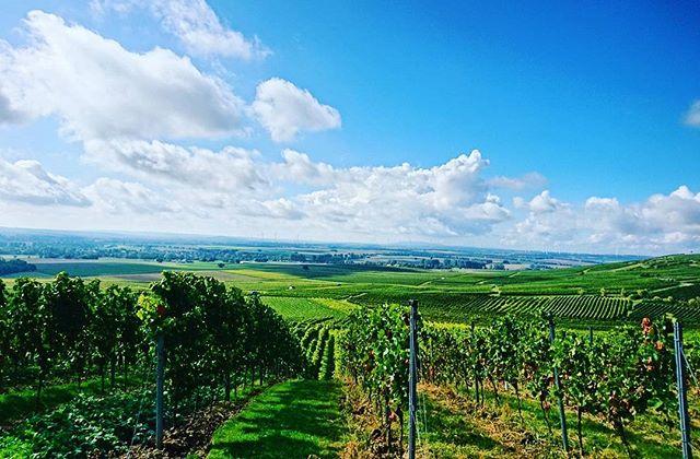 ☀ #herbst #sunisshining #vintage2017 #harvest 🍇 🔜 🍷 #rheinhessenwein #mommenheim #weinemitformat