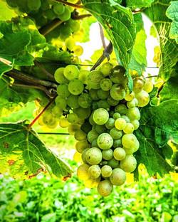 #weinlese2017 #vintage2017_☀ ☔ ✂ 🍇 🔜 🍷 #rheinhessenwein #mommenheim #weinemitformat #winelove #wi