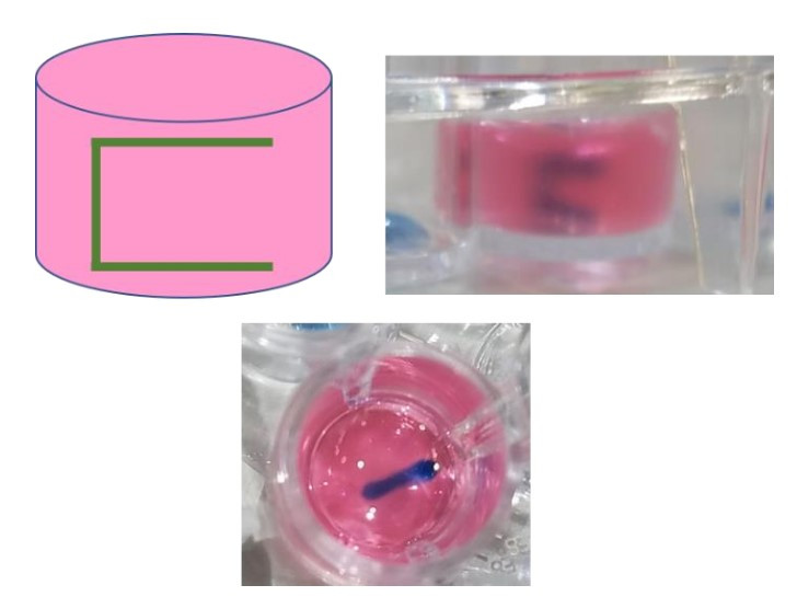 Figure 2: Pattern of printed HUVEC cells within a single well of a 48-well plate and the resultant print a collagen gel.