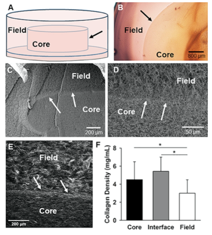 """Figure 1: The Core-in-field (CIF) tissue boundary model. (A) Schematic of the CIF model showing the preformed """"core"""" sitting on a thin bed of gelled collagen surrounded by an additional """"field"""" of gelled collagen."""