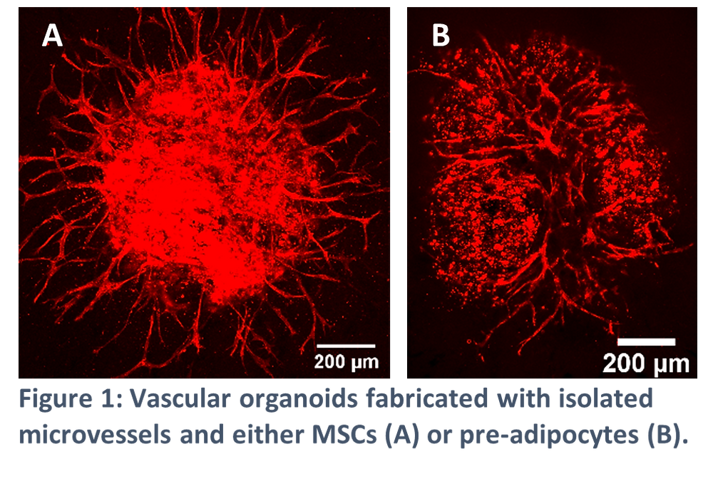 Vascular oganoids fabricated with isolated microvessels