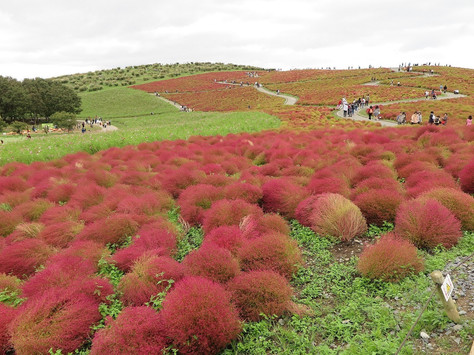 'Hitachi Seaside Park' in Ibaraki Prefecture was opened in 1991 and is still under expansion.