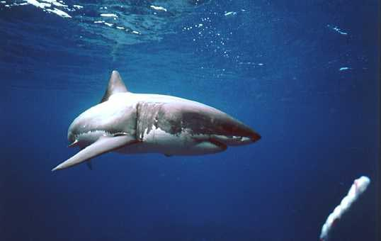 Great White 2.jpg