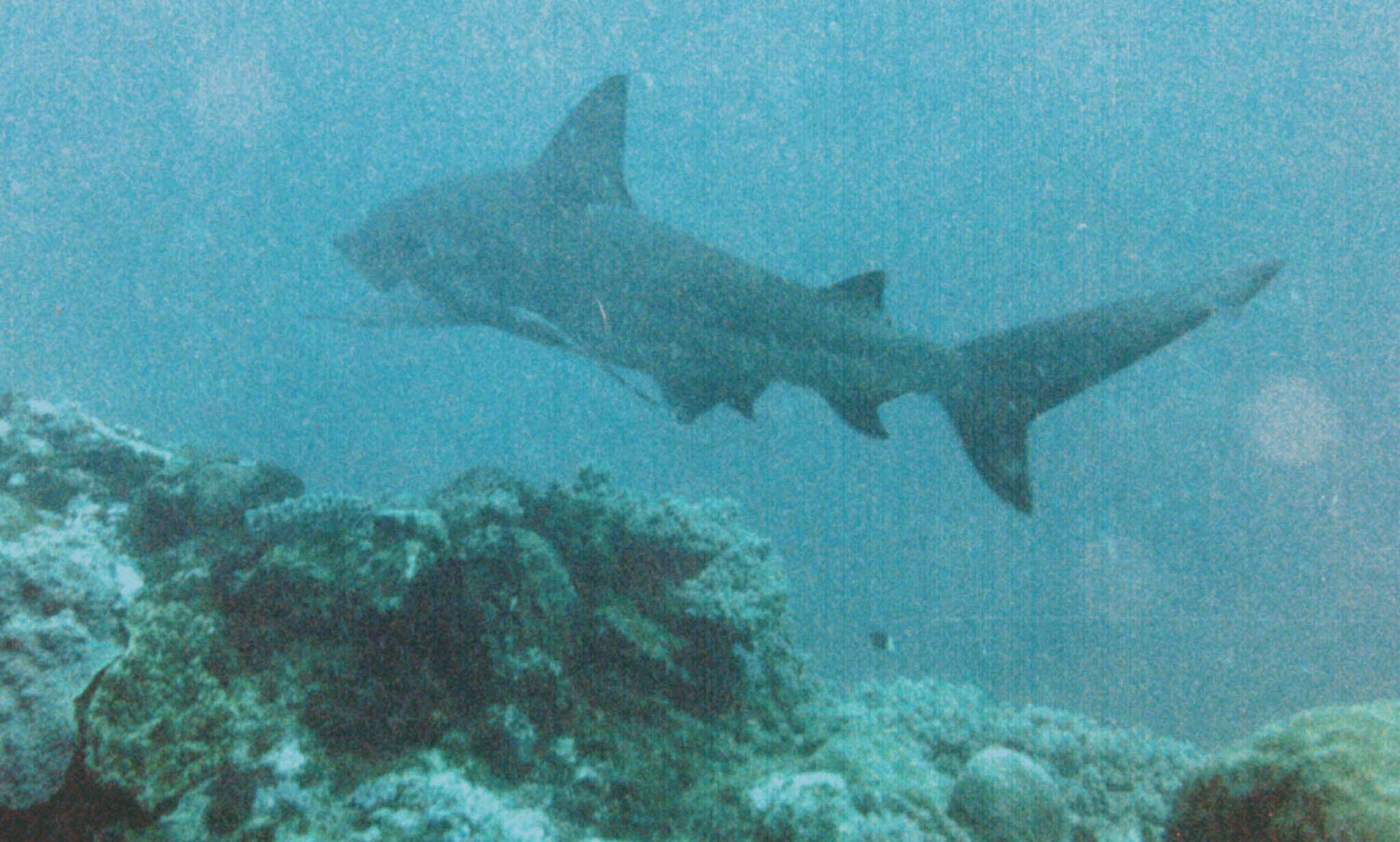 Bull Shark 3.jpg