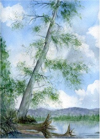 Great White Pine Of The Adirondacks